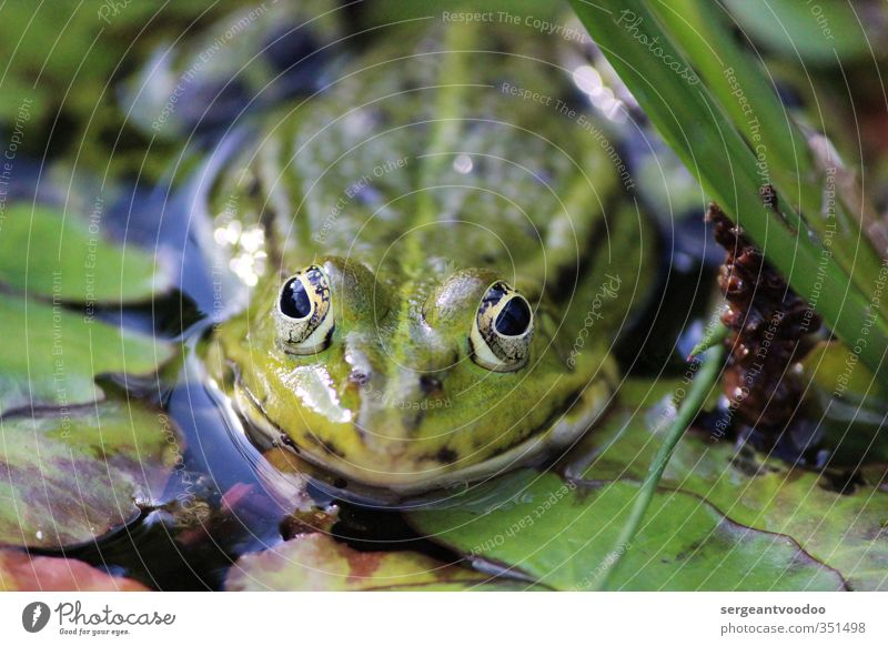 wildlife Garden Environment Nature Plant Animal Water Summer Leaf Water lily leaf Lakeside Bog Marsh Pond Wild animal Frog 1 Observe Swimming & Bathing Jump