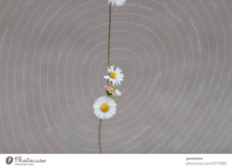 Necklace of daisies against a grey background Daisy Chain Row flowers Jewellery already Close-up Decoration White Exterior shot green Yellow Summer spring