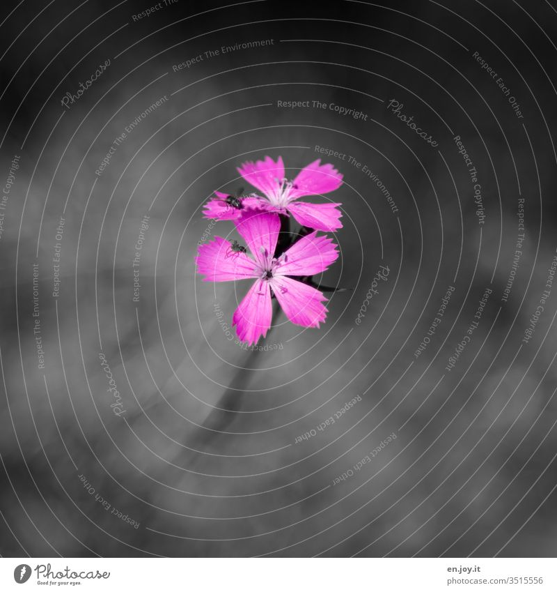 pink blossom bleed Pink flowers Plant Meadow flower Wild plant Fly insects fauna flora Nature Colour photo Blossoming Exterior shot Day Deserted