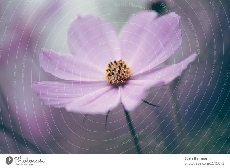 Macro of a jewelry basket Colour photo Cosmos Blossoming bleed flowers Plant Nature Summer Neutral Background Garden Growth Exterior shot already Transience