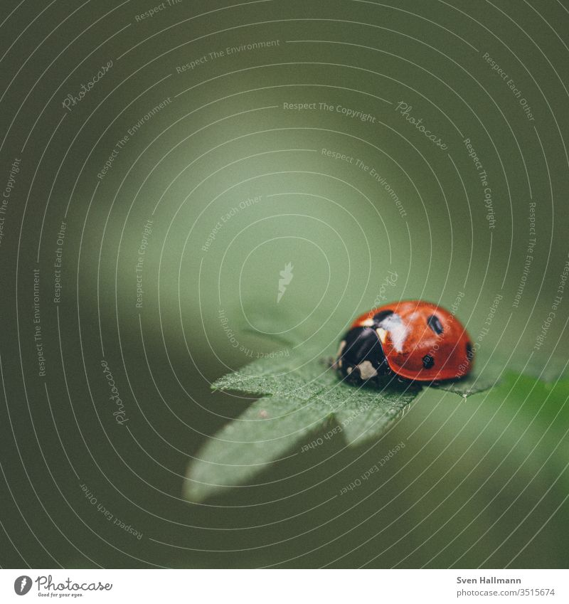 Ladybird sitting on a leaf Macro (Extreme close-up) Blossom leave Summer Beetle Plant Red Animal Insect ladybug flowers Nature Close-up Exterior shot