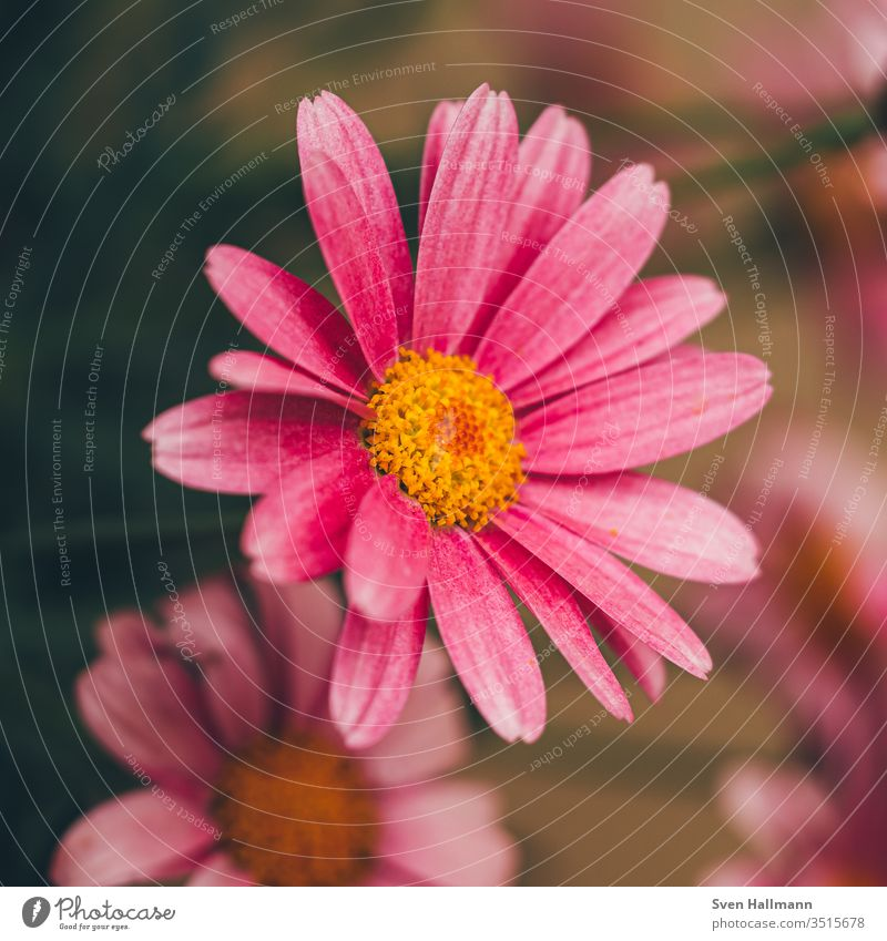 Macro shot of a pink daisy Daisy flowers Summer Plant Nature green spring bleed Meadow Yellow Close-up Grass Pink Garden Recklessness Colour photo Human being