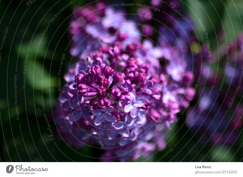 Found some beautiful blossoms this spring. flower blooming sun day shining bright lilac violet purple colorful colours green Blossom Flower Plant Nature
