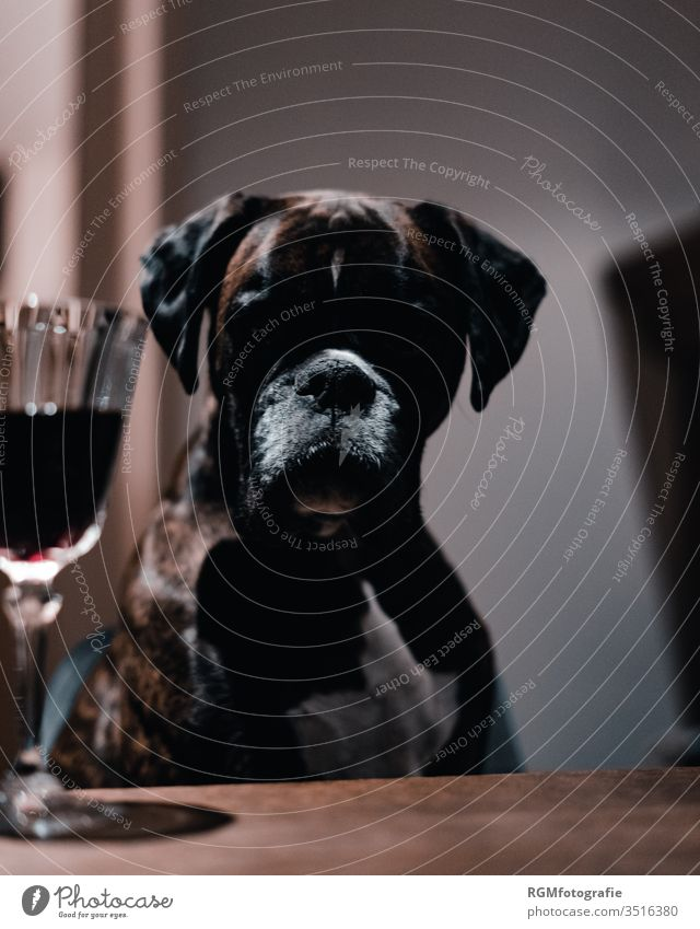 Boxer dog sitting at a table looking at a glass of red wine, face lying in the shade Dog Red wine Addiction Shadow Pet Dinner table Drinking Alcoholic drinks