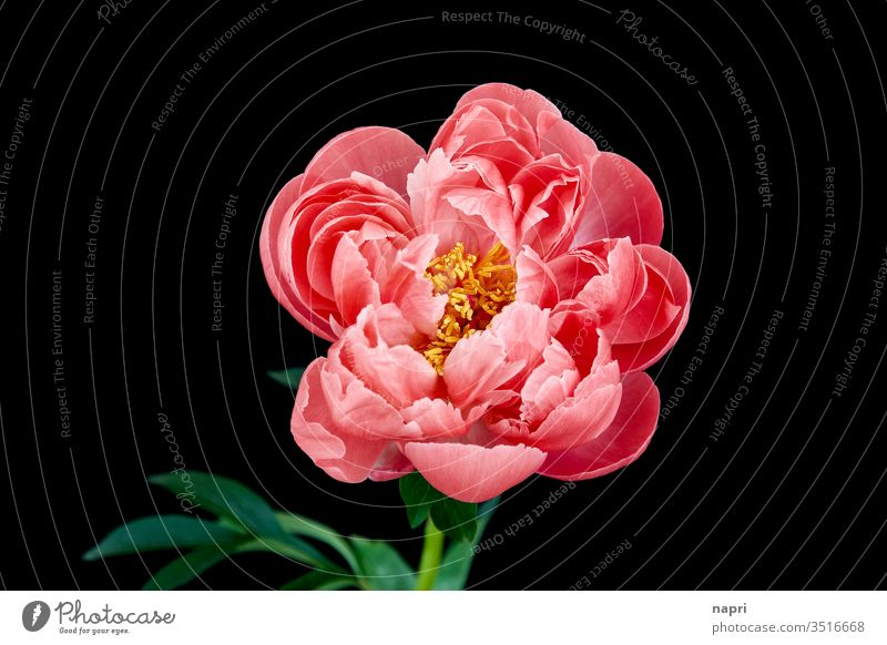 Baroque | A pink peony in full bloom isolated against a black background. Peony bleed Pink splendid Lush already splendid specimen Blossoming flowers spring