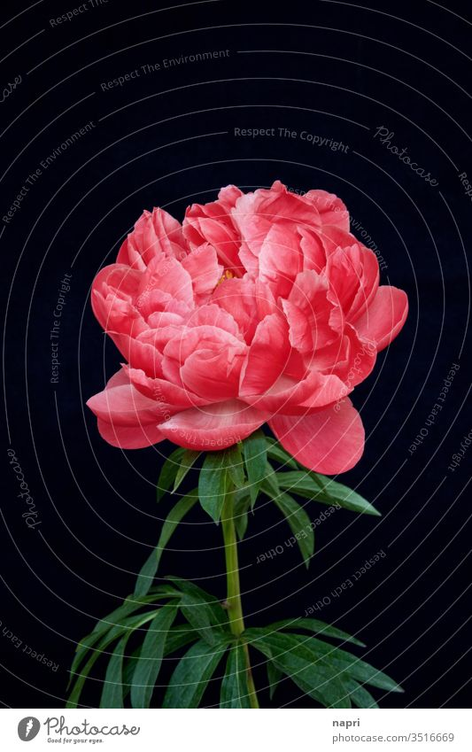 lush | A bright pink peony in full bloom isolated against a black background. Peony bleed splendid Lush already splendid specimen Baroque Blossoming flowers