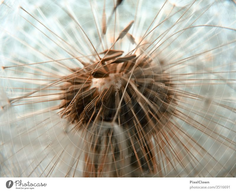 Macro shot of a dandelion lowen tooth flowers Nature Exterior shot Meadow Macro (Extreme close-up) Close-up Plant Garden