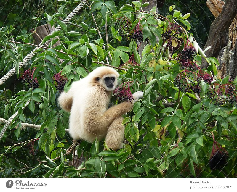 White Hand Gibbon / Hylobates lar monkey shrubby elder Elder leaves fruits Berries green Pelt Soft cuddly Face Black Head Small Round by hand hands resplendent