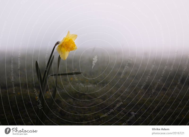 Lonely narcissus in foggy meadow mourning card Grief Fog hazy Mystic daffodil Spring Dreary Meadow Landscape Nature Exterior shot Deserted Plant Calm Dark