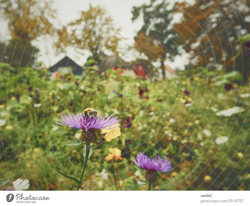 cornflowers Meadow Flower meadow Insect Sieve pollination Nature Autumn huts houses Village Dierhagen Baltic Sea bleed Plant Colour photo Exterior shot green