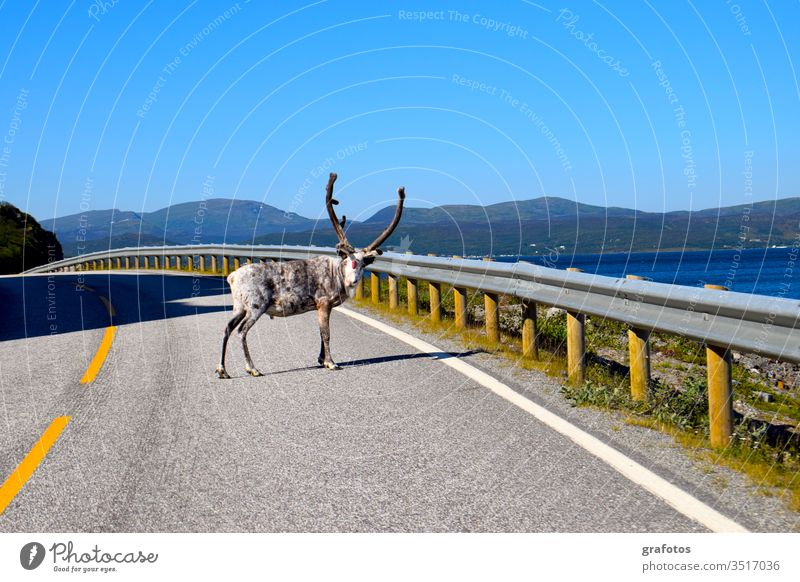 Reindeer-Hello in Scandinavia Lifestyle Style Vacation & Travel Tourism Trip Adventure Summer Ocean Animal hang Looking Funny Curiosity Blue Gray Colour photo