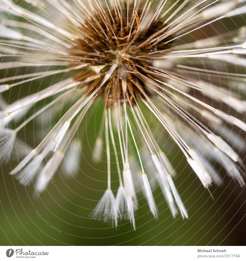 Close-up of a dandelion lowen tooth flowers Macro (Extreme close-up) Plant Sámen Exterior shot spring Nature Detail