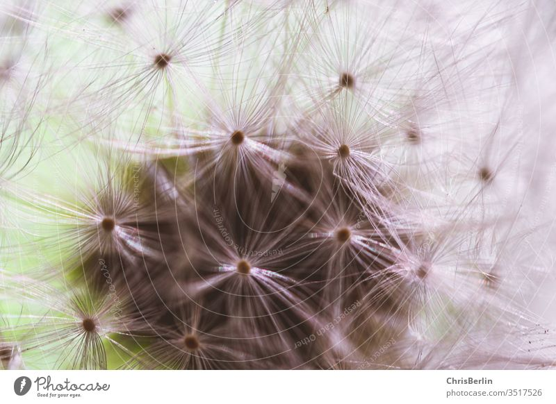 Close-up of a dandelion buttercup Faded Nature lowen tooth flowers Colour photo Exterior shot Macro (Extreme close-up) spring Sámen Detail