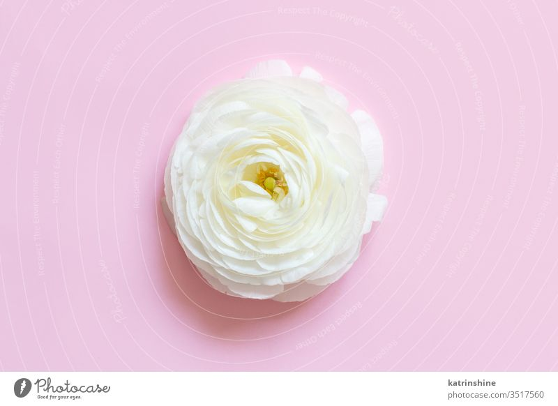 Cream ranunculus flower on a light pink  background cream spring romantic pastel flat lay composition roses top view above concept creative day decoration