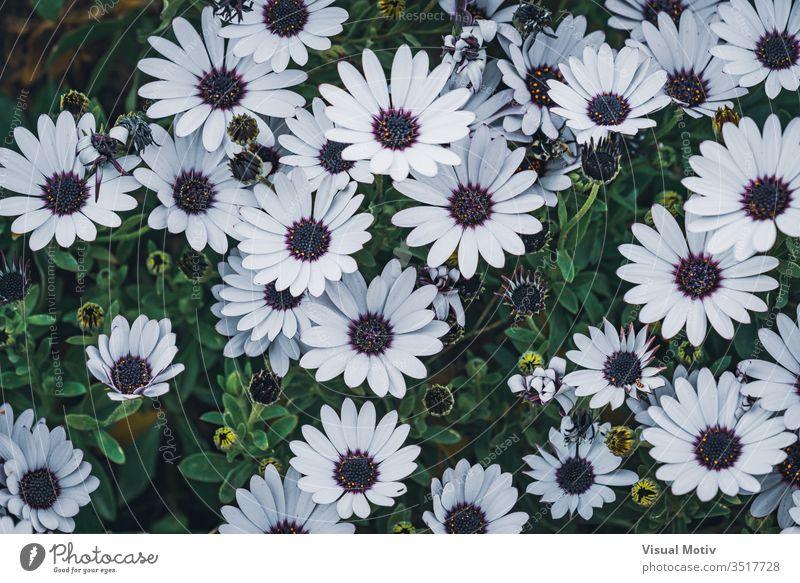 Flowers of Osteospermum 'soprano white' commonly known as African daisy or Cape Daisy flowers bloom blossom botanic botanical botany buds flora floral