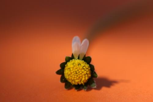 two petals on a daisy in the shape of two rabbit ears against an orange background Ear Daisy Blossom leave Easter Bunny Plucking Orange White Yellow bleed Empty