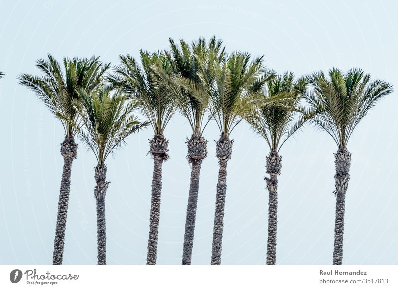 Group of cups of palm tree on the beach of Roquetas de Mar. coconut green south holiday tourist map tourism vector almeria mar atlantic ocean sea trees summer