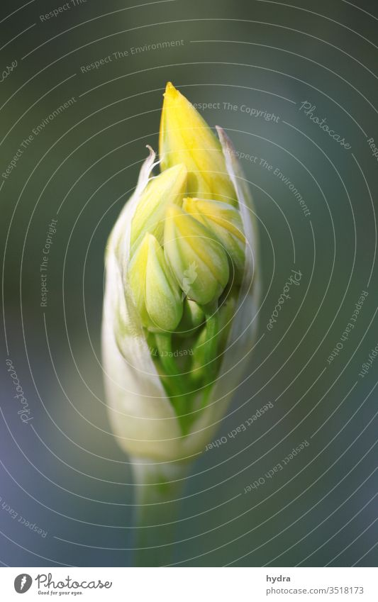 yellow golden garlic (Allium) bud shortly before flowering Golden Garlic ornamental garlic allium onion leek Lily plants liliacea bleed flowers Bud already Pure