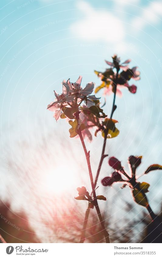 Tree flowers with the sun in the background blue sky day chellenge green plant nature outdoor beautiful beauty flowers spring garden gardening isolation moody