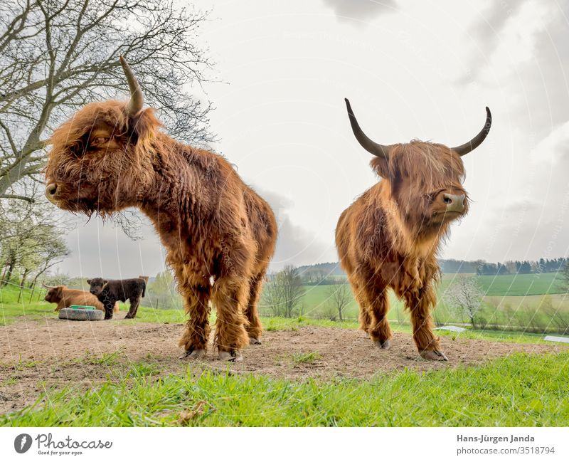 Scottish highland cattle on a pasture Cattle Bull Bullock Milk kyloe horned long-haired Meat Livestock Meadow Robust Cattle breeding Country life portrait
