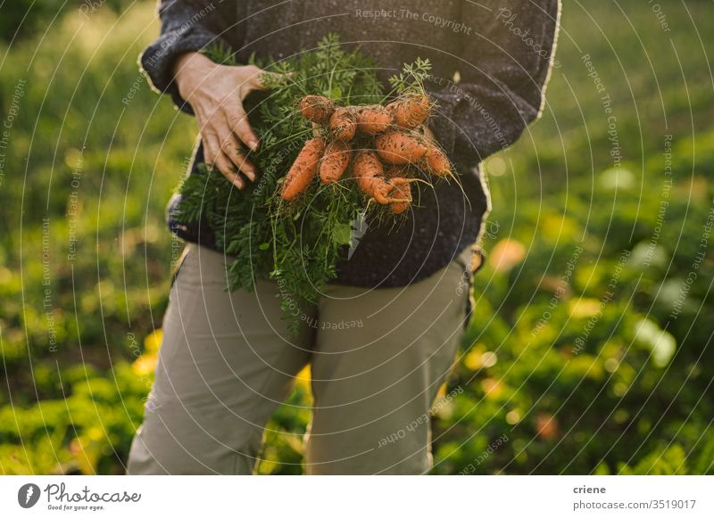 Close-up of woman holding freshly picked organic carrtos from garden dirt homegrown market bunch local cultivation produce harvesting carrots field nutrition