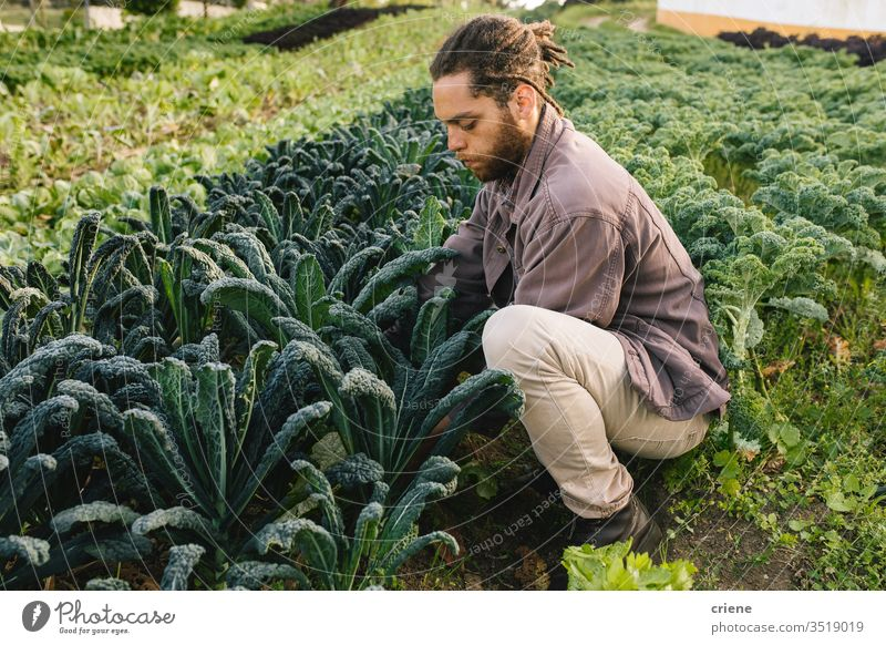 Young man picking oragnic healthy kale from field leaves salad business farming box cultivate freshness gardener men working harvesting occupation environment