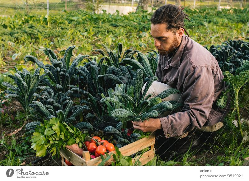 Young farmer harvesting fresh vegetables from the garden leaves salad business farming box cultivate freshness gardener men working occupation environment plant