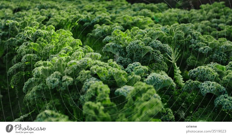 Close-up of fresh organic kale growing on field black kale leafy tuscan kale produce lettuce cultivation vitamin food vegetable green plant agriculture healthy