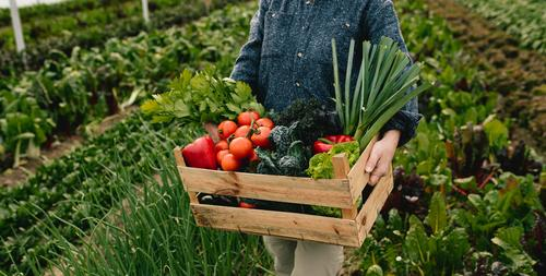 Close up of farmer carrying box with fresh organic vegetables in greenhouse tomato crate sustainability woman produce garden nature harvest agriculture healthy