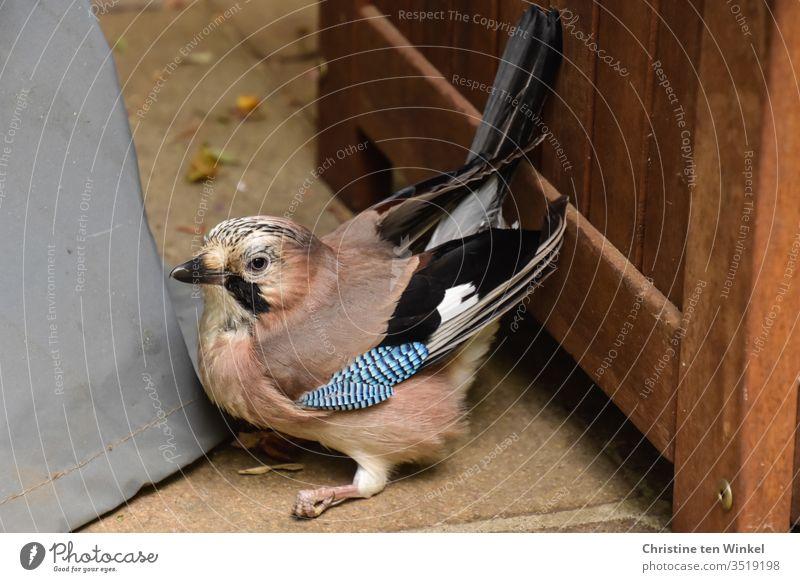 Anxious and confused jay / Garrulus glandarius sitting on the ground in a corner of a terrace Jay Wild bird Raven Bird songbird Animal Nature Wild animal 1