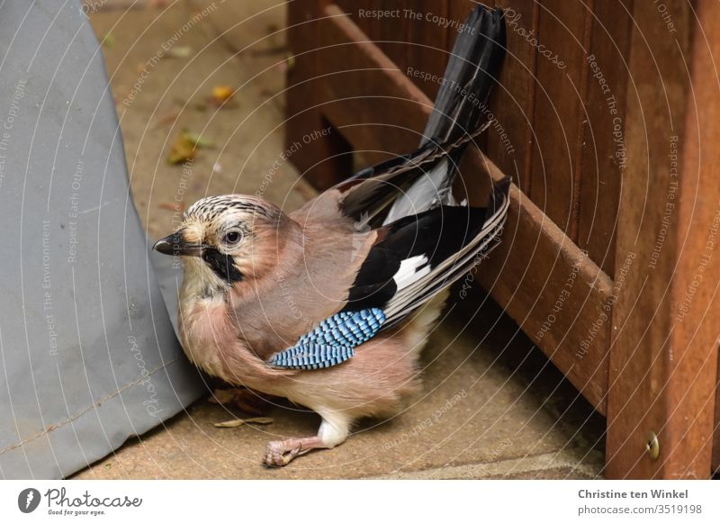 Fearful jay / Garrulus glandarius sitting on the floor in a terrace corner Jay Wild bird Raven birds songbird Animal Nature Wild animal 1 Animal portrait