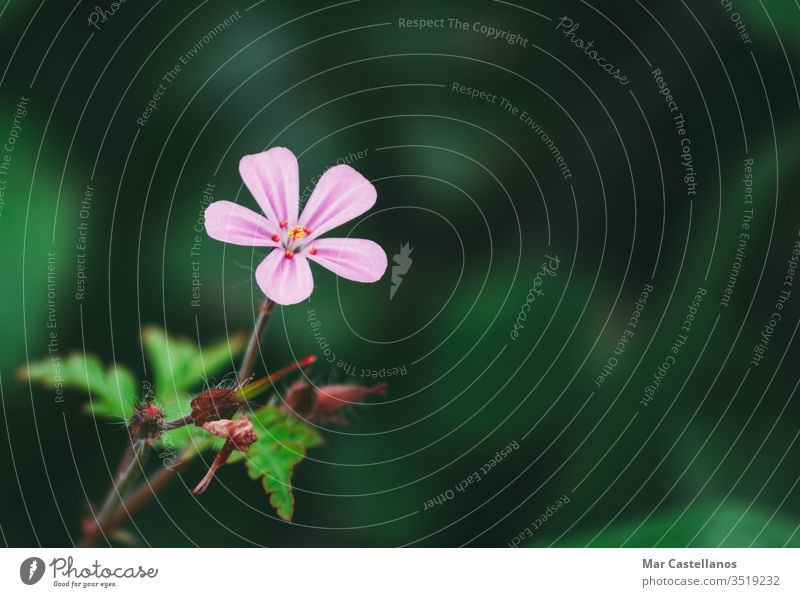 Geranium robertianum macro with natural background Pink and white five-petal flower. Copy space with unfocused background. geranium nature herb leaf flora pink