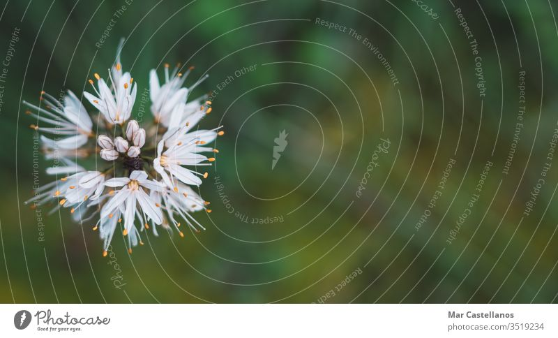 Asphodelus albus top view with space for copy Concept of wild flora. Macrophotography with selective focus. copy space selective blur white flower grass gamon