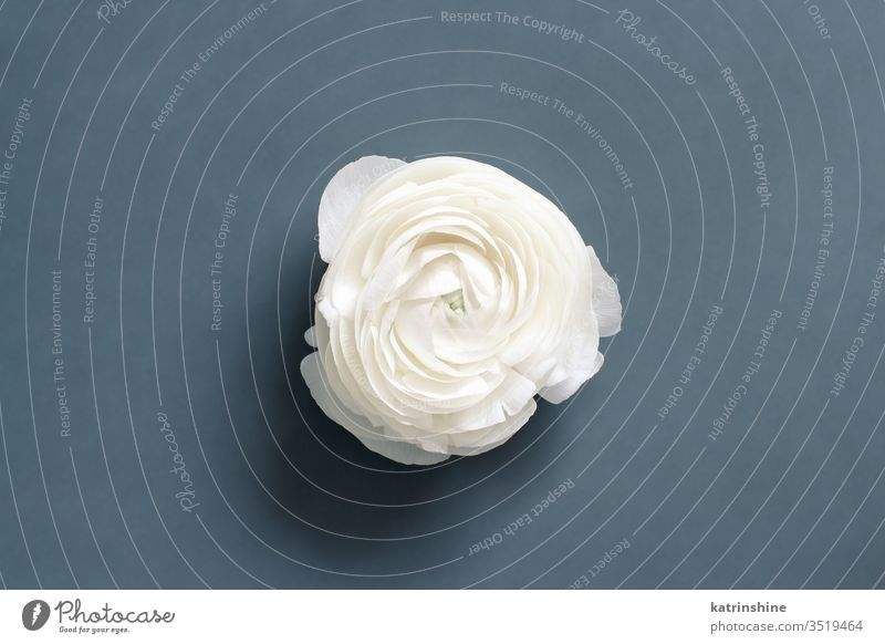 Cream ranunculus flower on a grey  background cream white grey dark grey spring romantic composition roses top view above concept creative day decoration design