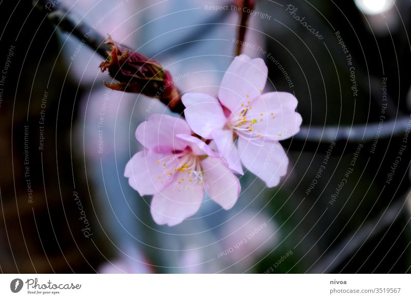 apple blossom Flowering plant bleed Apple blossom spring Moody romantic Nature already Beauty & Beauty Mysterious Branch Blossom leave petals background Floral