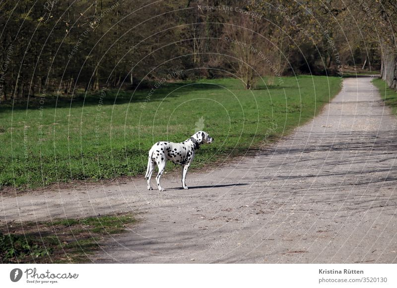 dalmatian waits at the footpath Dalmatian Dog Purebred dog Animal Pet Speckled Spotted Dappled White Black breed of dog out Nature off cross Promenade walk