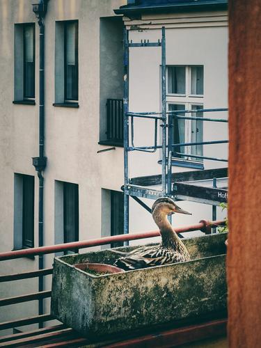Duckburg House (Residential Structure) Scaffolding balconies incubate Window Deserted Visavis Town Nature