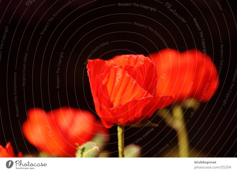 Plant Red Garden Background picture Poppy