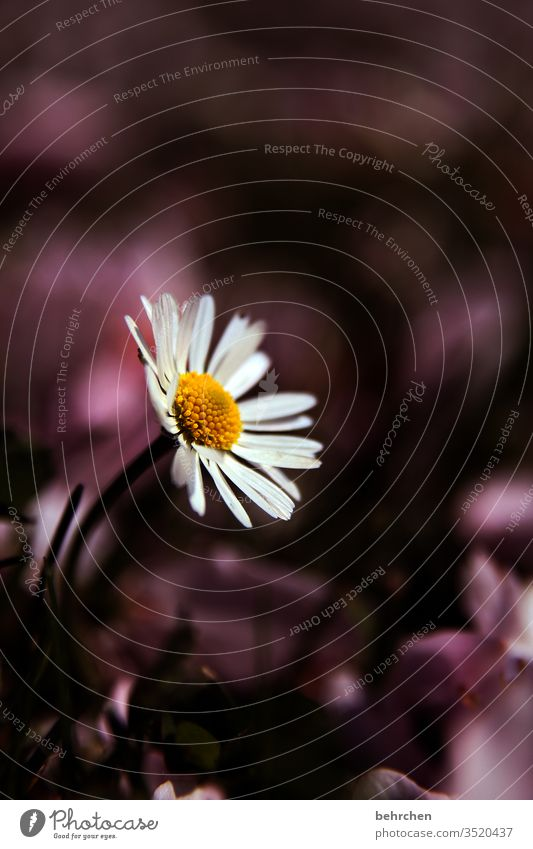 a flower for the mommies Daisy flowers bleed Meadow Garden Blossom leave Small Delicate Cute pretty Summer spring Plant Nature Exterior shot Grass Blossoming