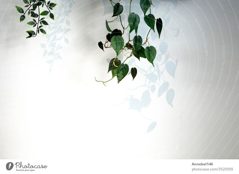 Hanging plant Green Ivy on white wall in modern house with dark shadows, minimal light background Plant White Wall (building) Nature Home green Decoration