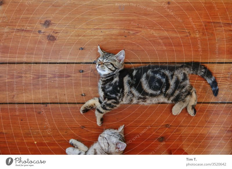 SLEEP Sleep Dream Kitten hangover Cat wooden floorboards no one there Pet Animal Colour photo Cute Animal portrait Baby animal Interior shot Animal face Cuddly