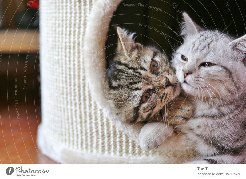 love Love Brothers and sisters Together Cat cat hangover Domestic cat Pelt Whisker mackerelled Colour photo Animal mietzi Nose Eyes Pet whiskers Profile Lie
