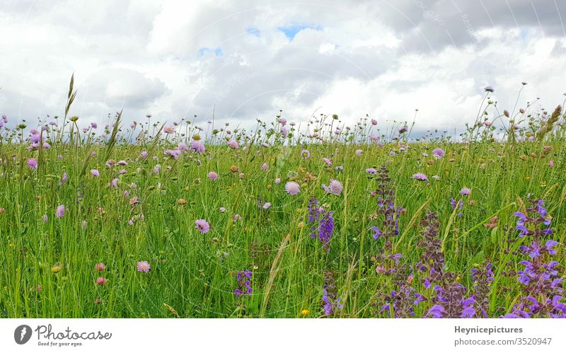 Flowers Meadow landscape with grass and wildflowers cloudy sky nature field plant green summer meadow spring garden purple lavender blue beauty beautiful