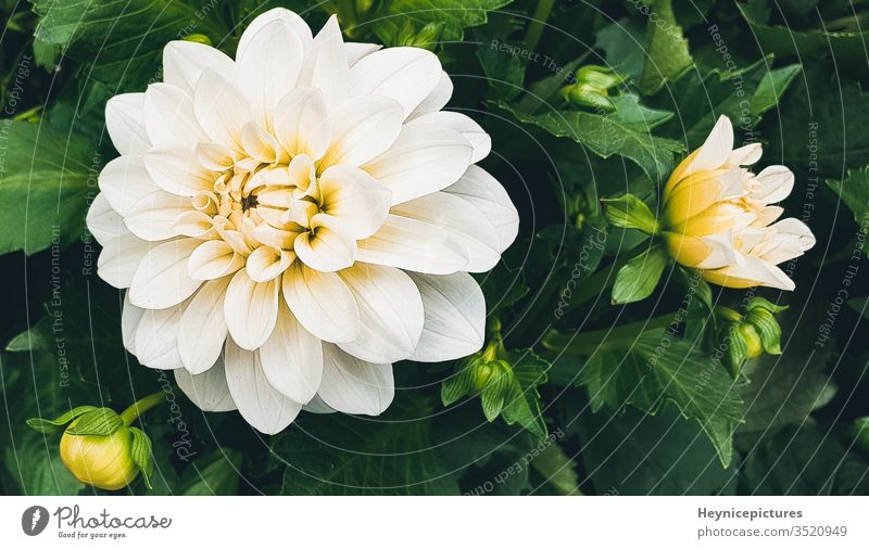 White flower chrysanthemum beautiful flowers white flowers chrysanthemum closeup white chrysanthemum chrysanthemum flower chrysanthemum isolated