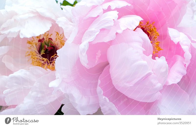 Pink peony petals rose flowers pink flowers background pink peonies pink peony blossom bloom beauty romantic season spring flora macro beautiful bouquet summer