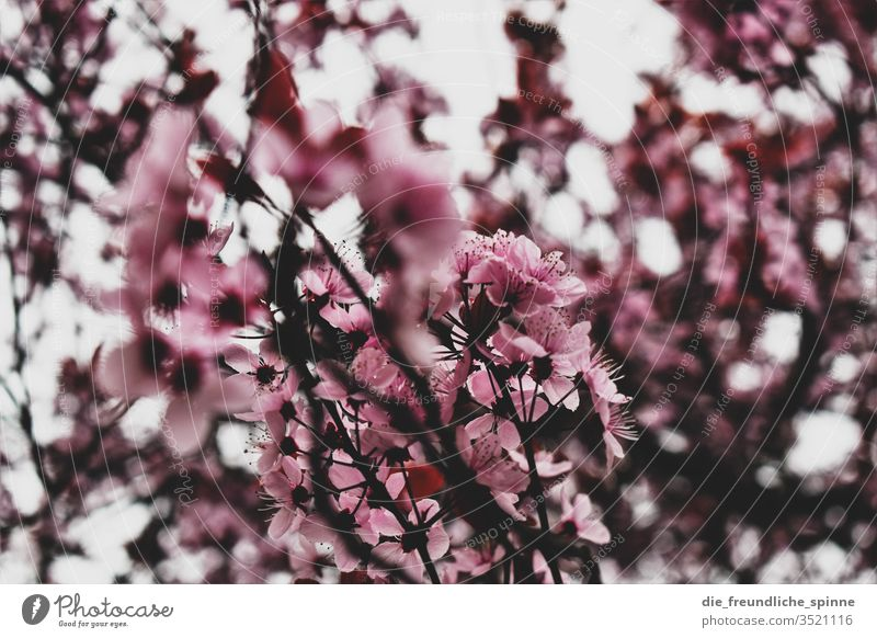 cherry blossom Cherry Cherry blossom Pink spring Cherry tree Branch Nature Colour photo already Blossoming Park Spring fever Exterior shot Plant bleed Close-up
