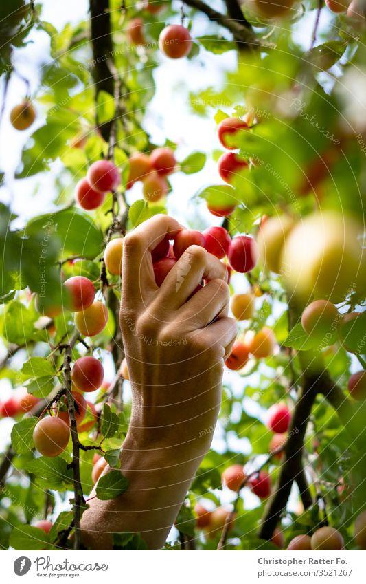 Hand at harvesting wild Aprikosen cherries Harvest by hand Summer Agriculture Fruit trees Fruit garden Fuit growing Fruit- or Vegetable stall fruit Colour photo