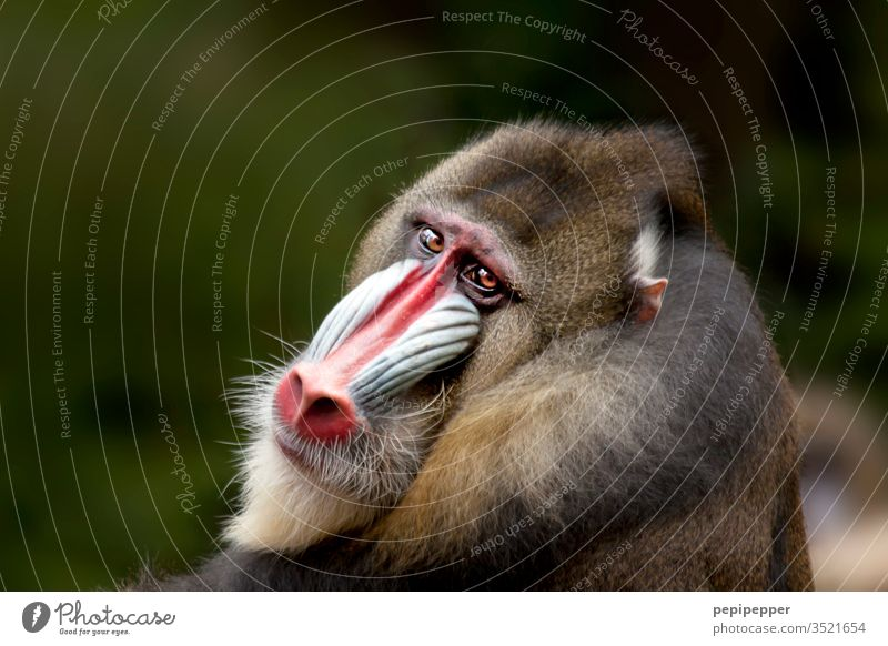 Mandrill monkey - backside with view into the camera Animal Colour photo Exterior shot Animal portrait Nature Monkeys Animal face Pelt Close-up Deserted