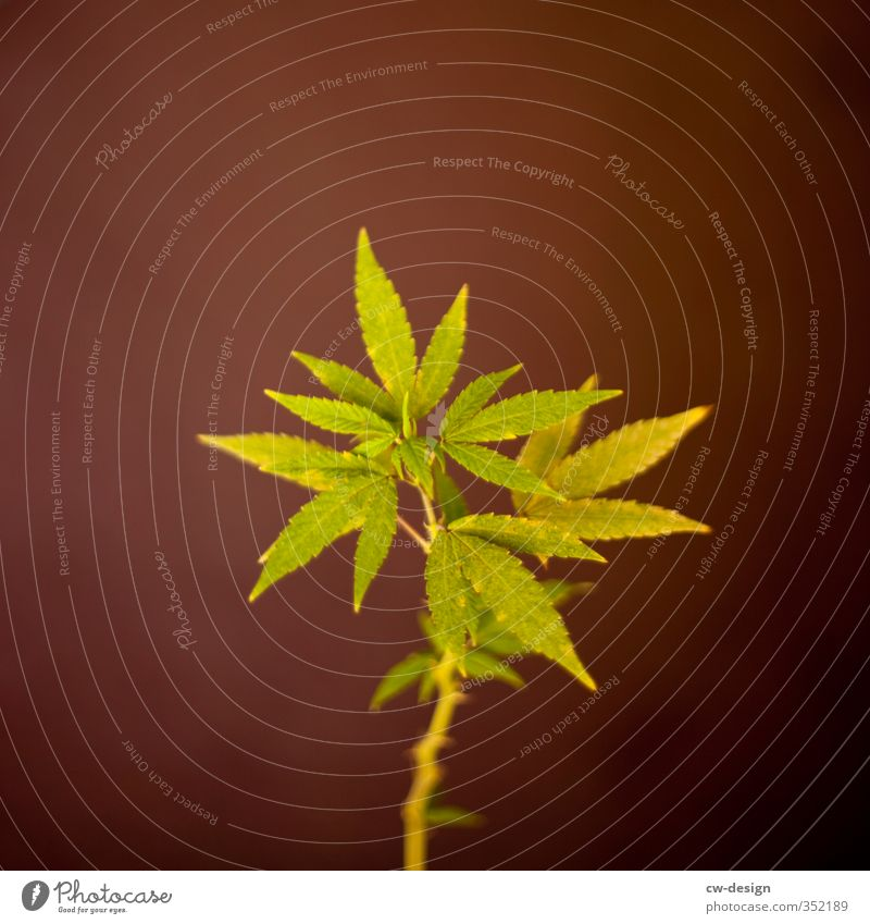 TODAY: INDEPENDENCE DAY Environment Nature Plant Summer Grass Hemp Foliage plant Agricultural crop Growth Sustainability Point Brown Green Cannabis