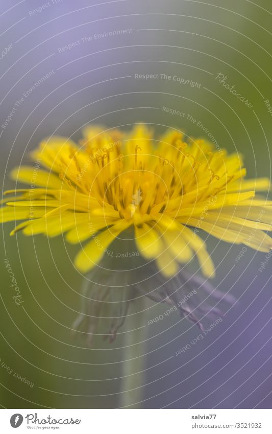 common flower   dandelion lowen tooth flowers bleed Nature Plant spring Macro (Extreme close-up) Colour photo Yellow green Detail Meadow Shallow depth of field